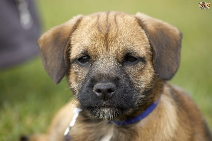 Border Terriers: How They Are as Pets