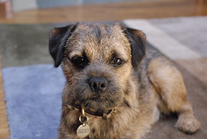 Common Health Conditions of Border Terriers