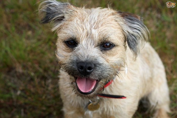 Dog Grooming for Border Terriers